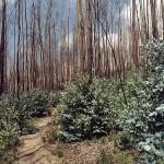 Verbrannte Eukalyptusbäume