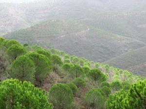 Pinien - Die grüne Hölle des Monchique