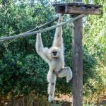 Gibbon im Zoo Lagos